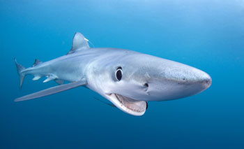Blue Shark by Klaus Harter