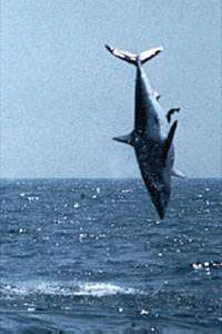 Leaping 544lb. Mako Shark