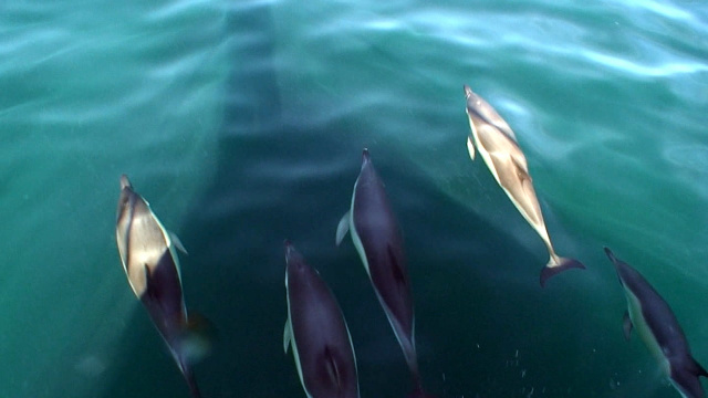 Bow Wave Riding Atlantic White-Sided Dolphins by Todd Kelly